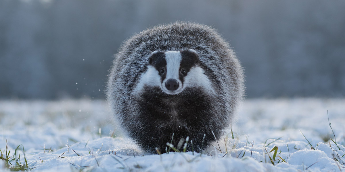 The Spirit of the Badger